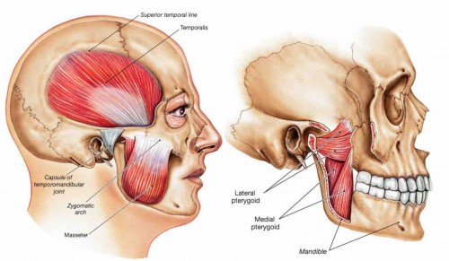 TMJ muscles Pterygoids Web